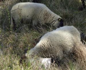 Les moutons en forêt de Fontainebleau - ONF