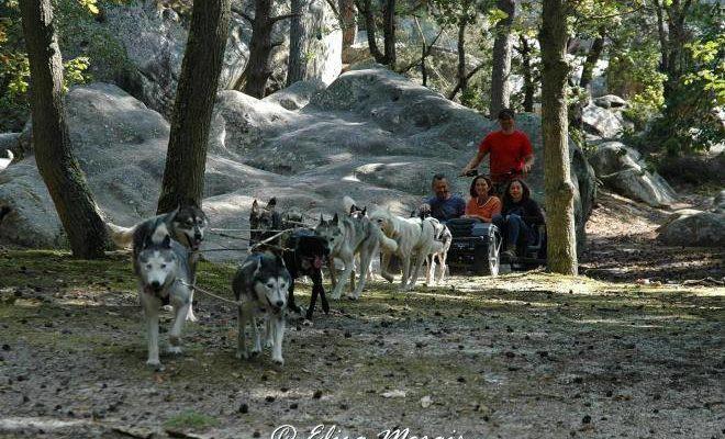 Dans un mois, les chiens de traineaux sont de retour en forêt de Fontainebleau!…