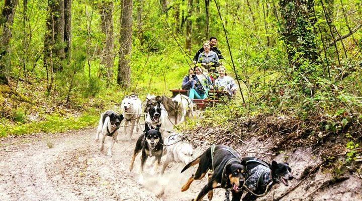 Une balade en chiens de traineaux en forêt de Fontainebleau. Une activité de pleine…